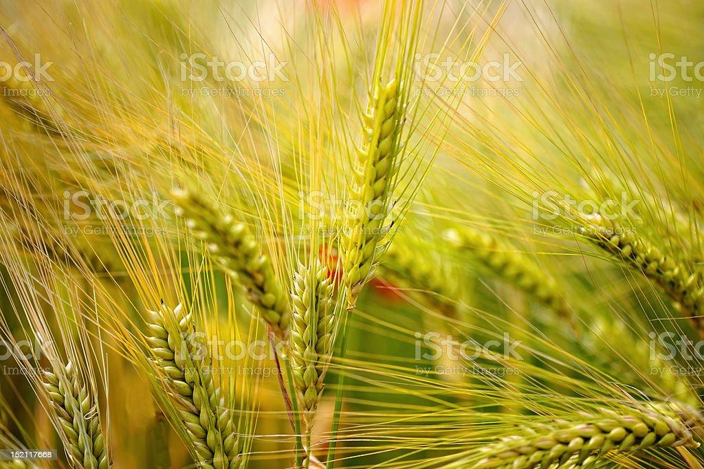 Green, organic wheat stock photo