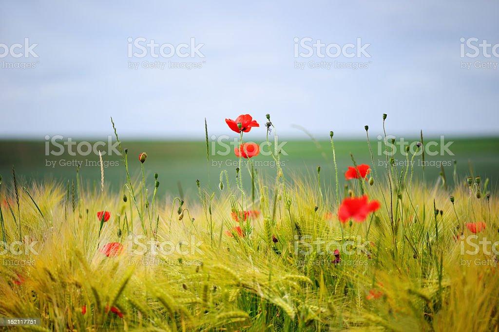 Green organic whet and poppy flowers stock photo
