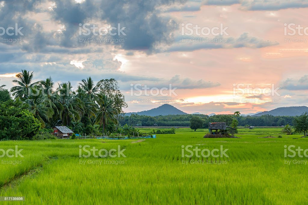 Green paddy field and a cottage with coconut tree. stock photo