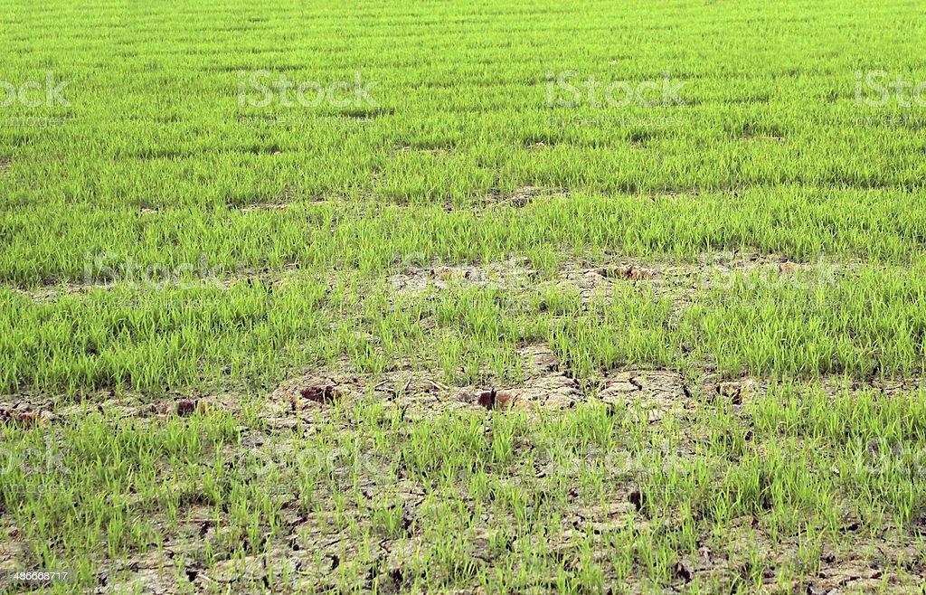 Green paddy field photo libre de droits