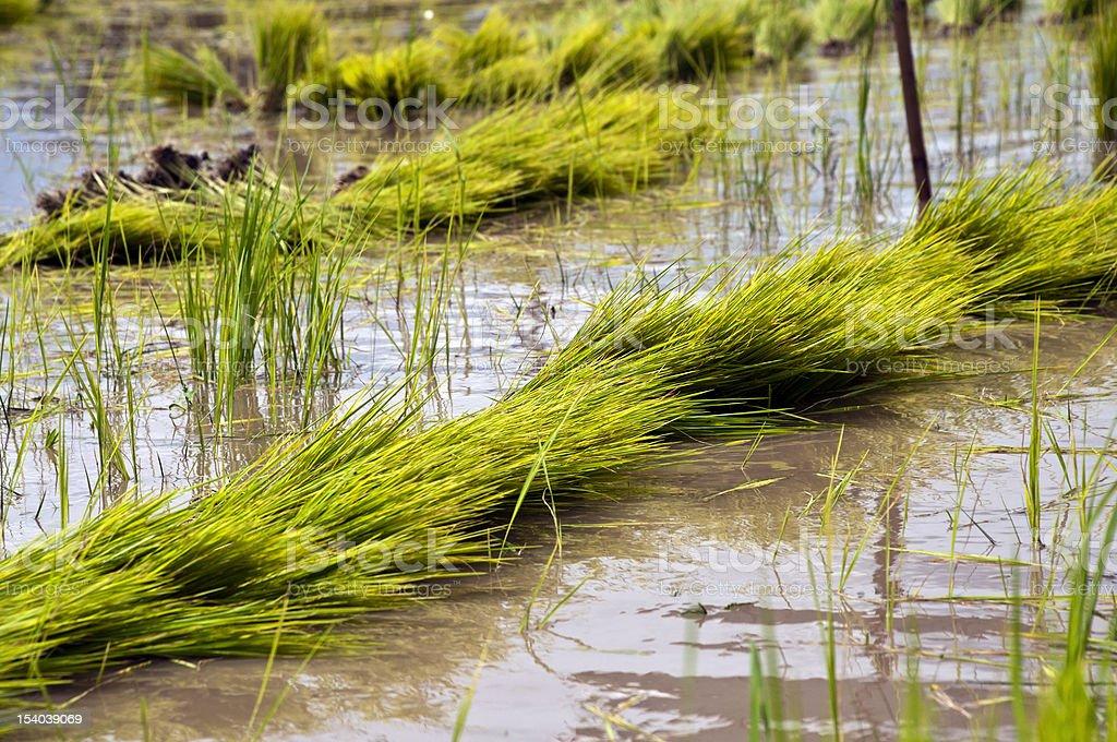 Green paddy pola zbiór zdjęć royalty-free
