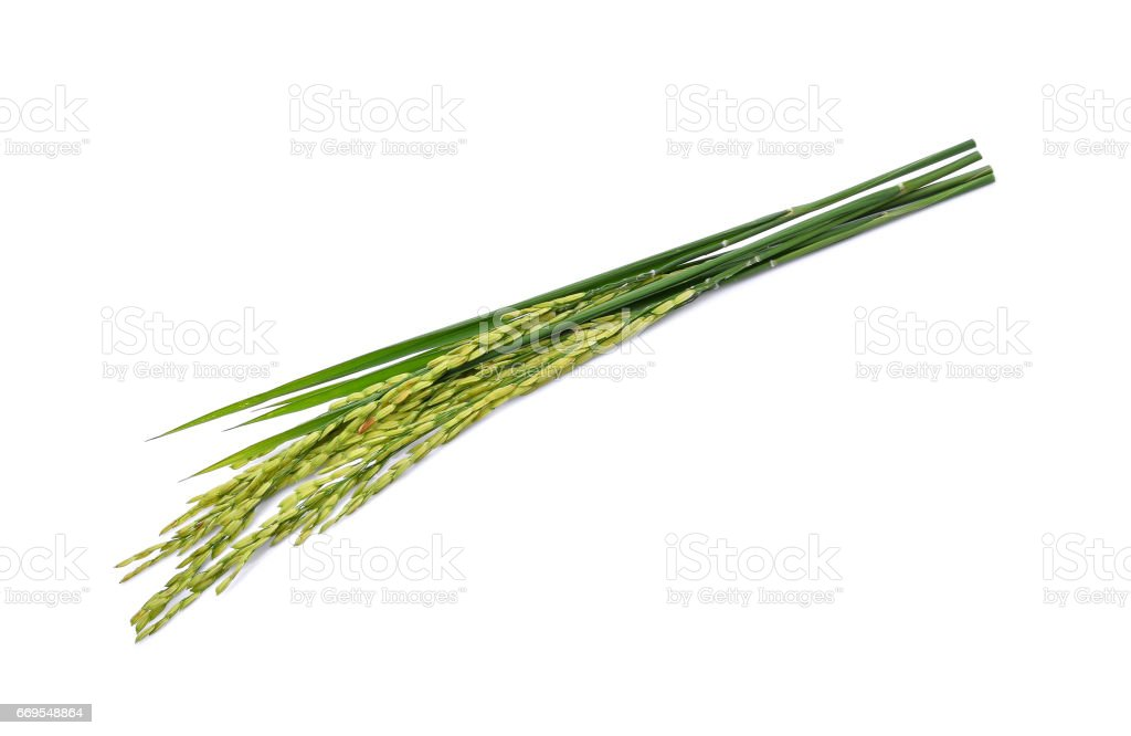 green paddy rice isolated on white background stock photo