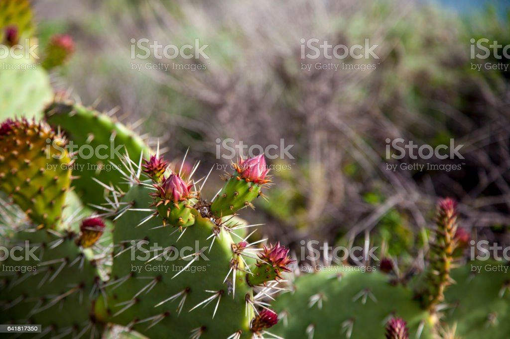 Green pads on a prickly pear cactus stock photo