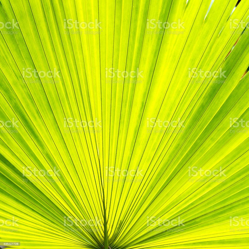 Green palm leaf for background stock photo