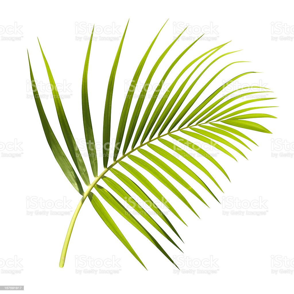 Green palm leaf isolated on white with clipping path stock photo