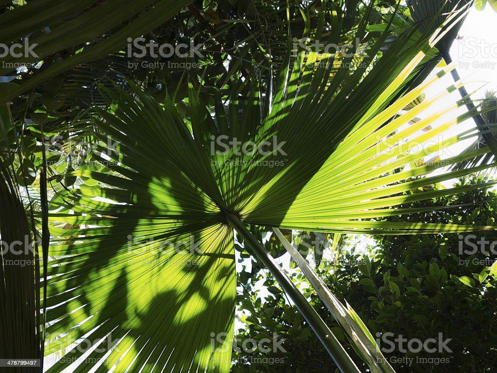 Green palm leaf, macro, backlit. royalty-free stock photo
