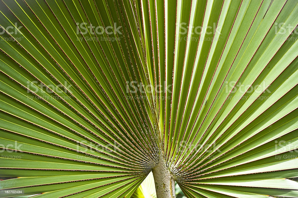 Green Palm Leaf royalty-free stock photo