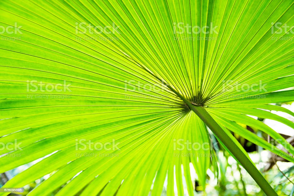 Green palm leaves for background stock photo