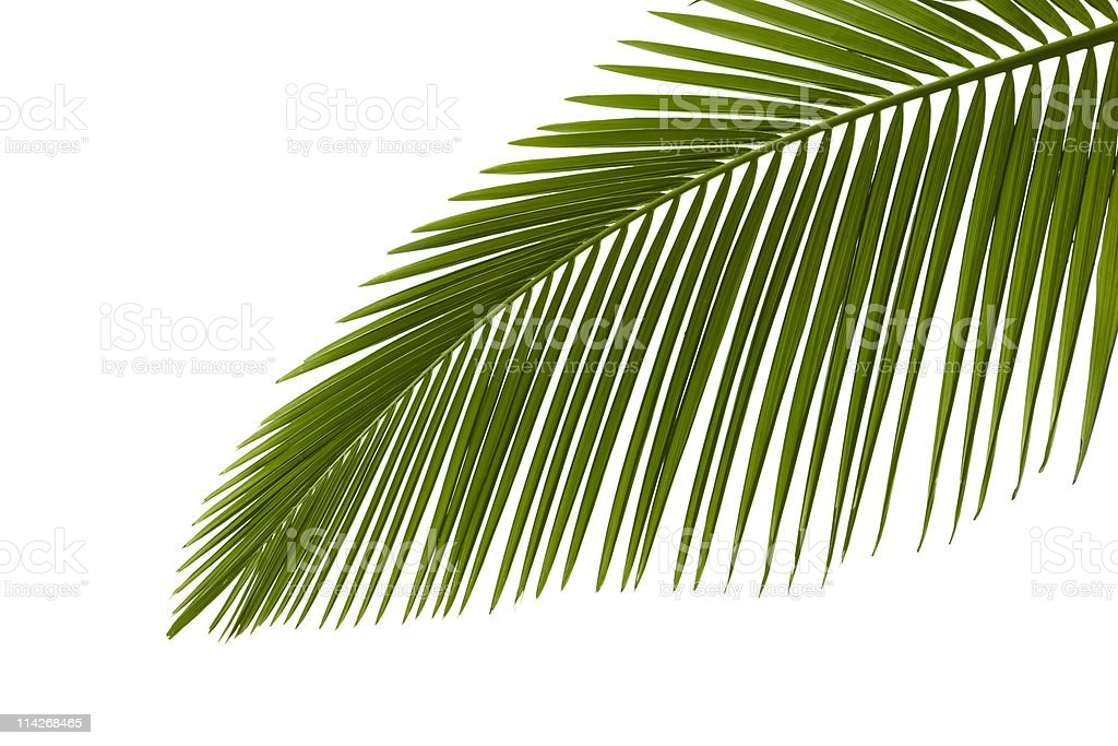 Green palm leaves stock photo