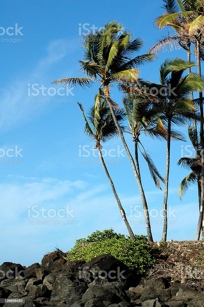 Green Palms, Blue Sky royalty-free stock photo