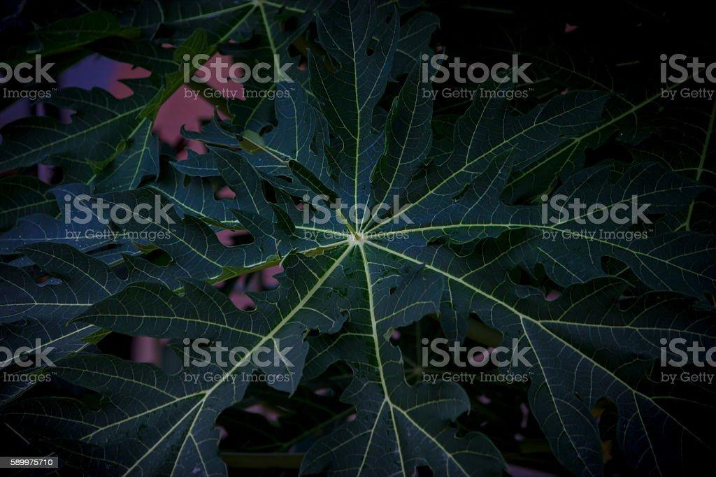 Green papaya leaf stock photo