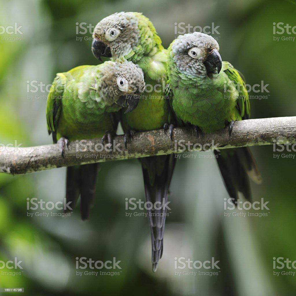 Green Parakeet Parrots Snuggling stock photo