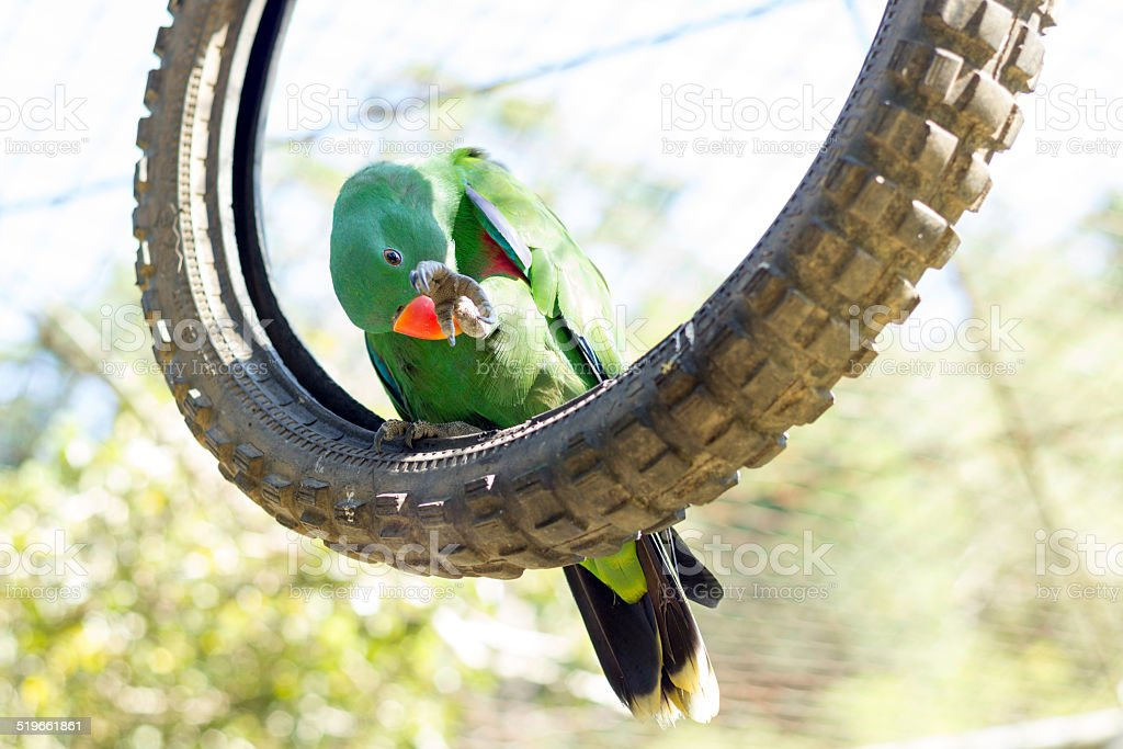 Green parrot cleaning its claw in wild life breeding center stock photo