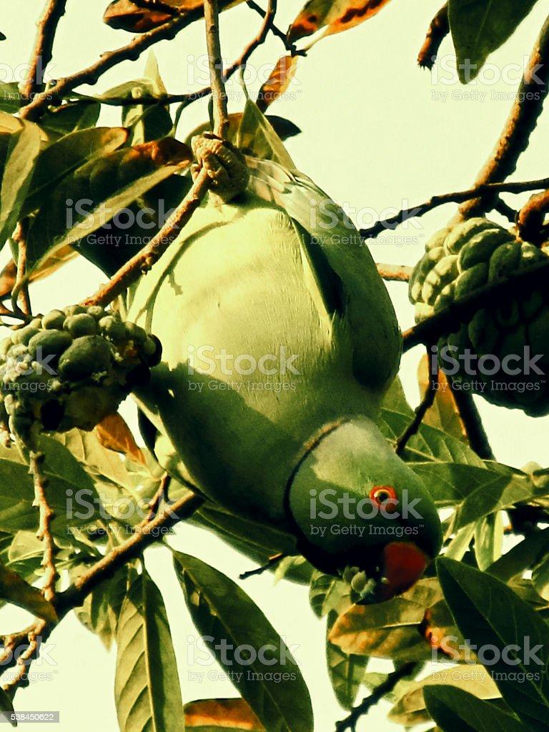 green parrot eating custardapple stock photo