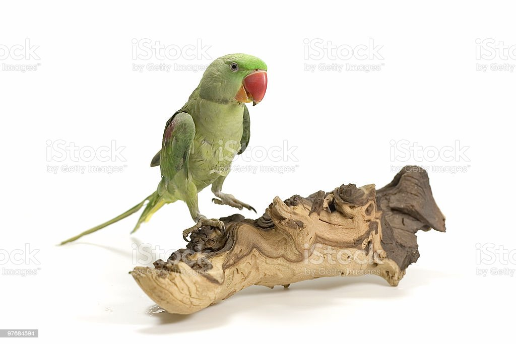 green parrot royalty-free stock photo
