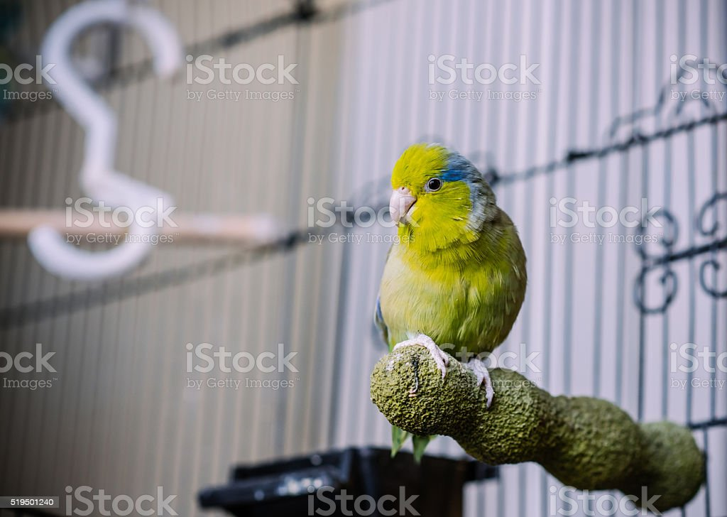 Green Parrotlet stock photo