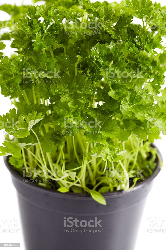 Green parsley  in pot stock photo