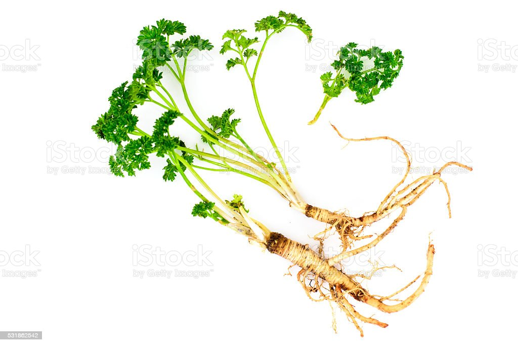 Green Parsley with Root stock photo