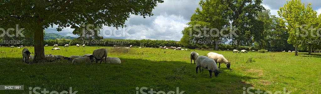 Green pasture, white sheep royalty-free stock photo