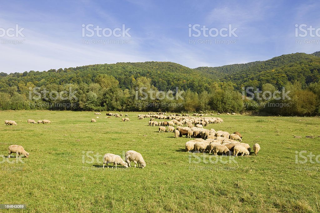 Green Pasture with Flock of Sheep royalty-free stock photo