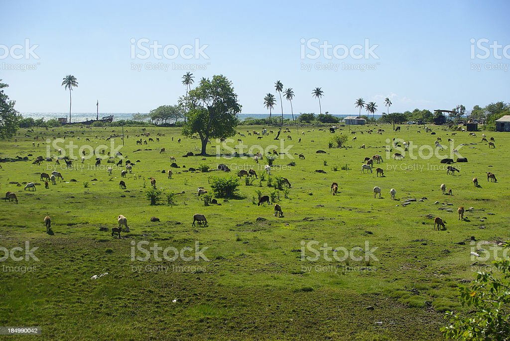green pasture with sheep and goats near beach stock photo