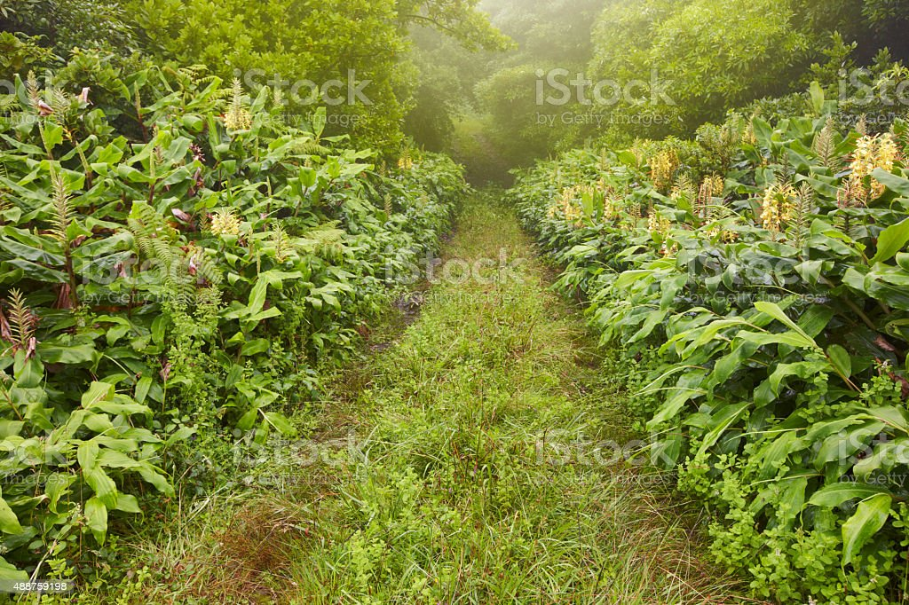 Green pathway on a foggy day, lush vegetation. Azores landscape stock photo