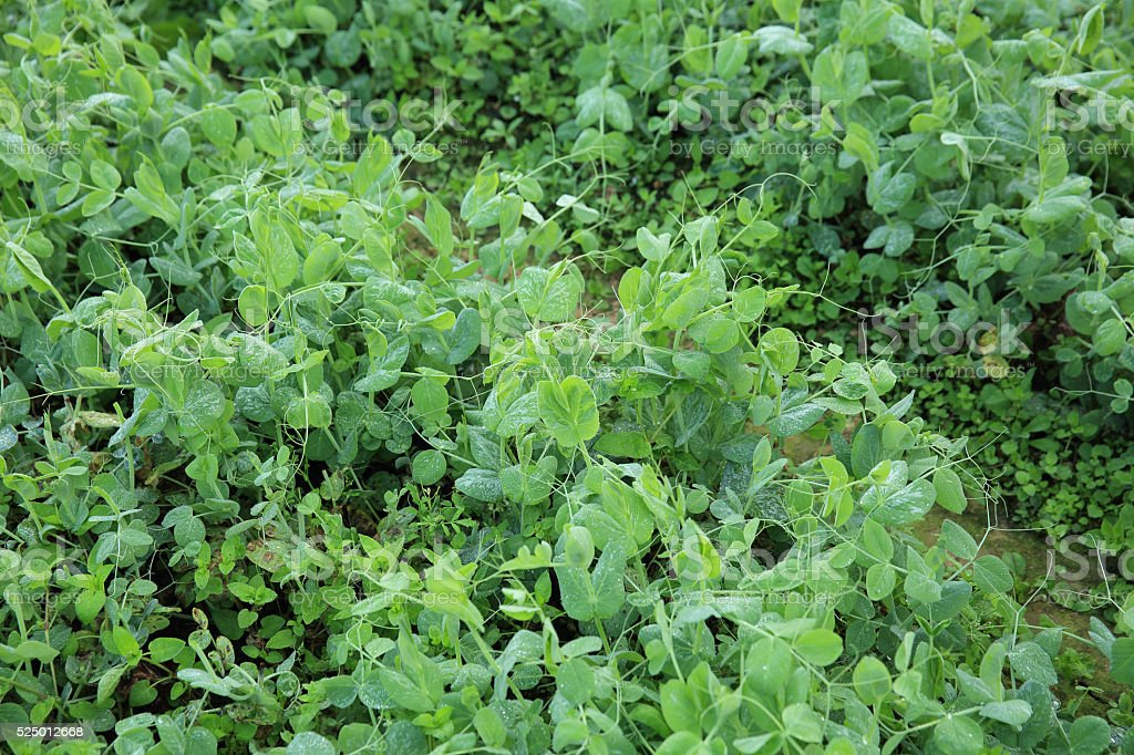 green pea crops in growth at vegetable garden stock photo