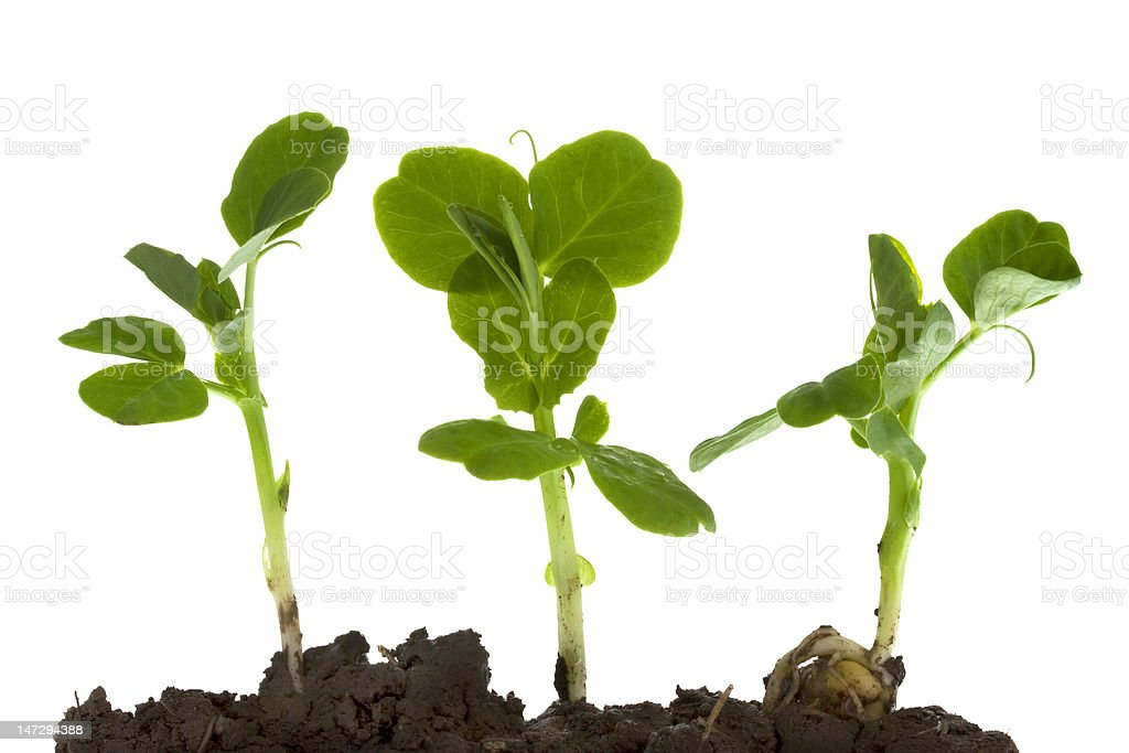 green pea germinating and growing stock photo