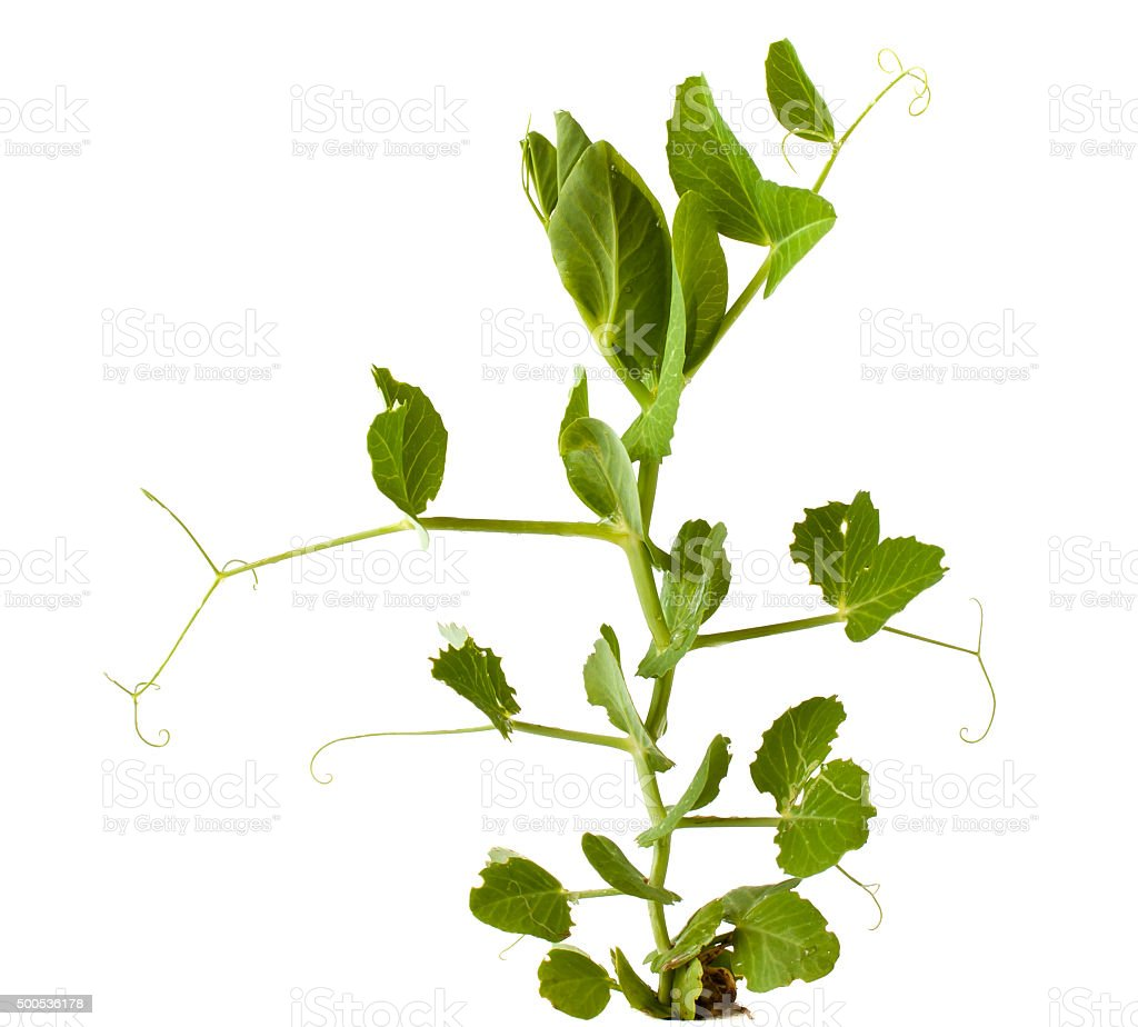 green pea on white stock photo