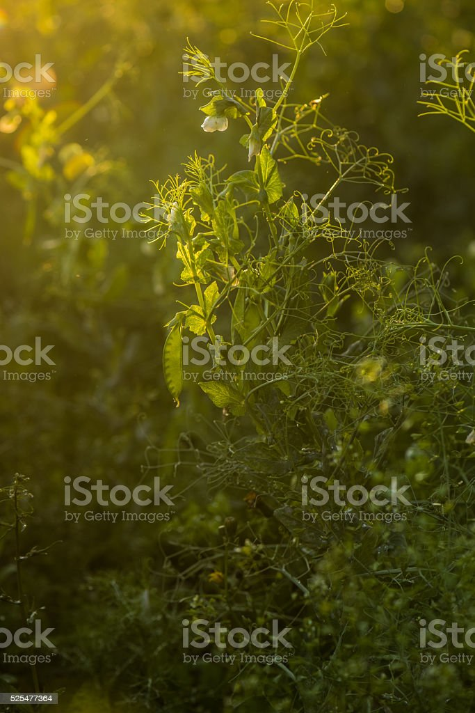 Green pea plant stock photo