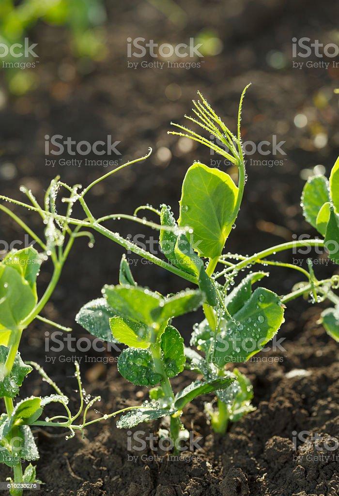Green pea plants stock photo