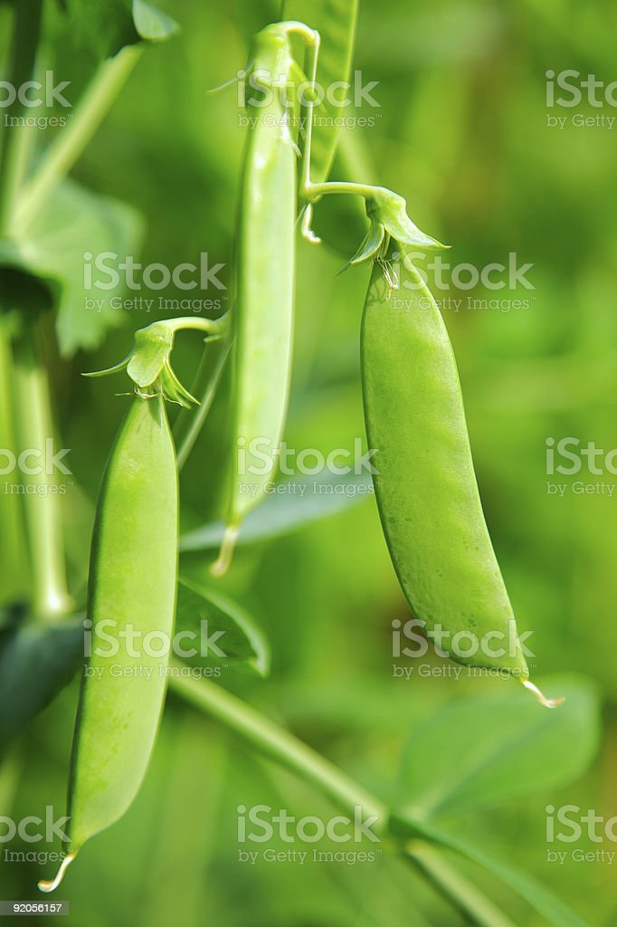 green pea pod royalty-free stock photo