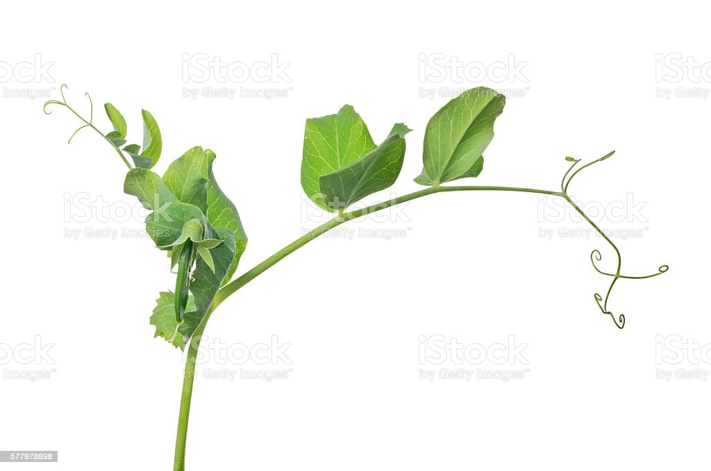 green pea stem isolated on white stock photo