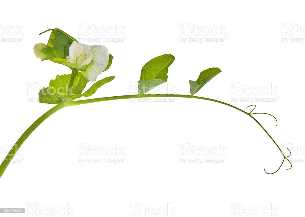 green pea tendril with flower royalty-free stock photo