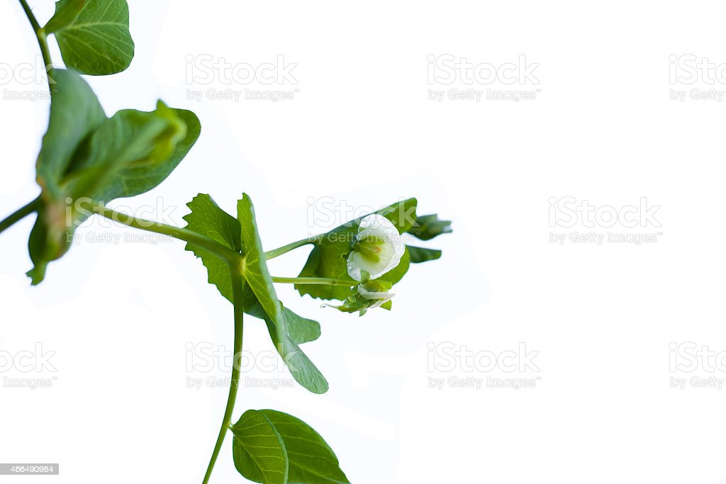 green pea twigs isolated on a white background stock photo