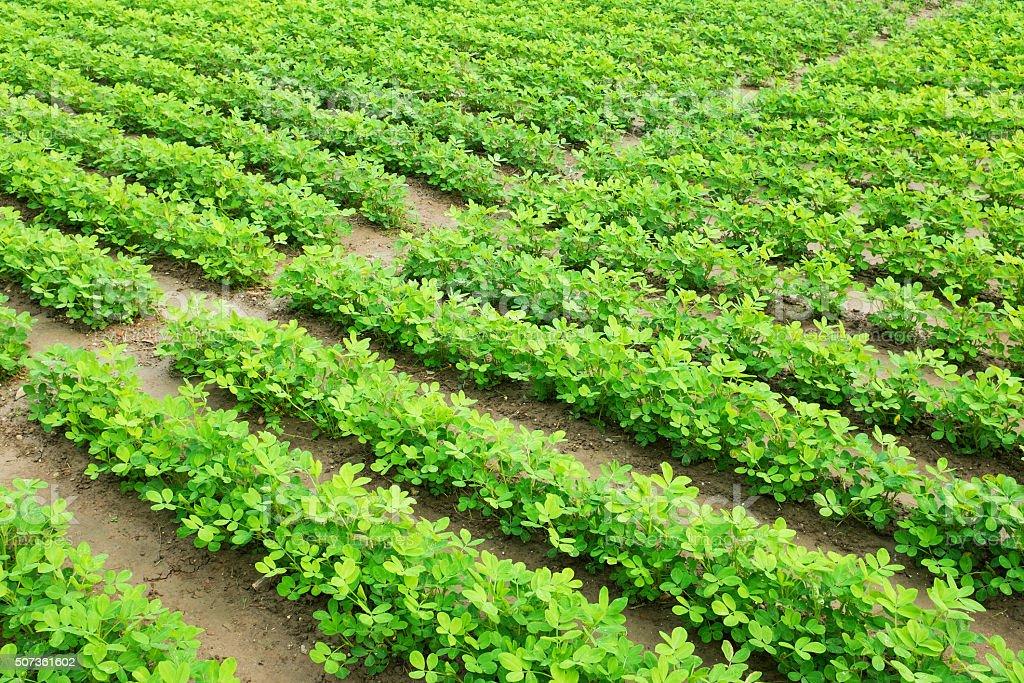 Green peanut field growth in farmland stock photo