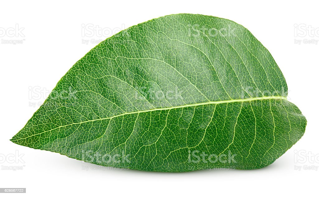Green pear leaf on white stock photo
