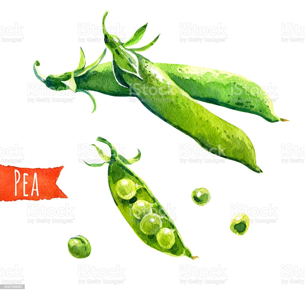 Green peas, watercolor illustration,  clipping paths included stock photo