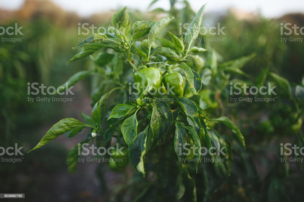 Green pepper stock photo