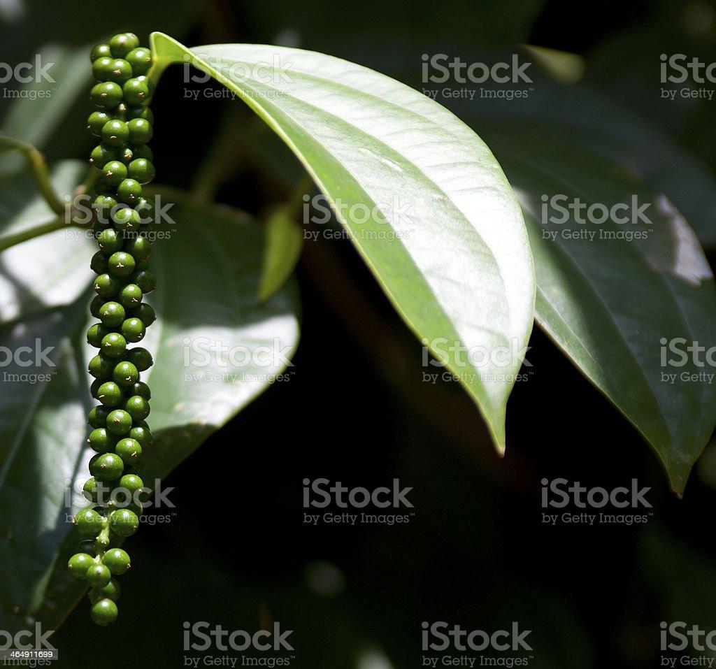 Green peppercorns growing stock photo