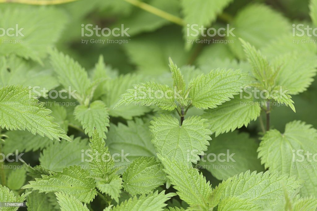 green peppermint plant royalty-free stock photo