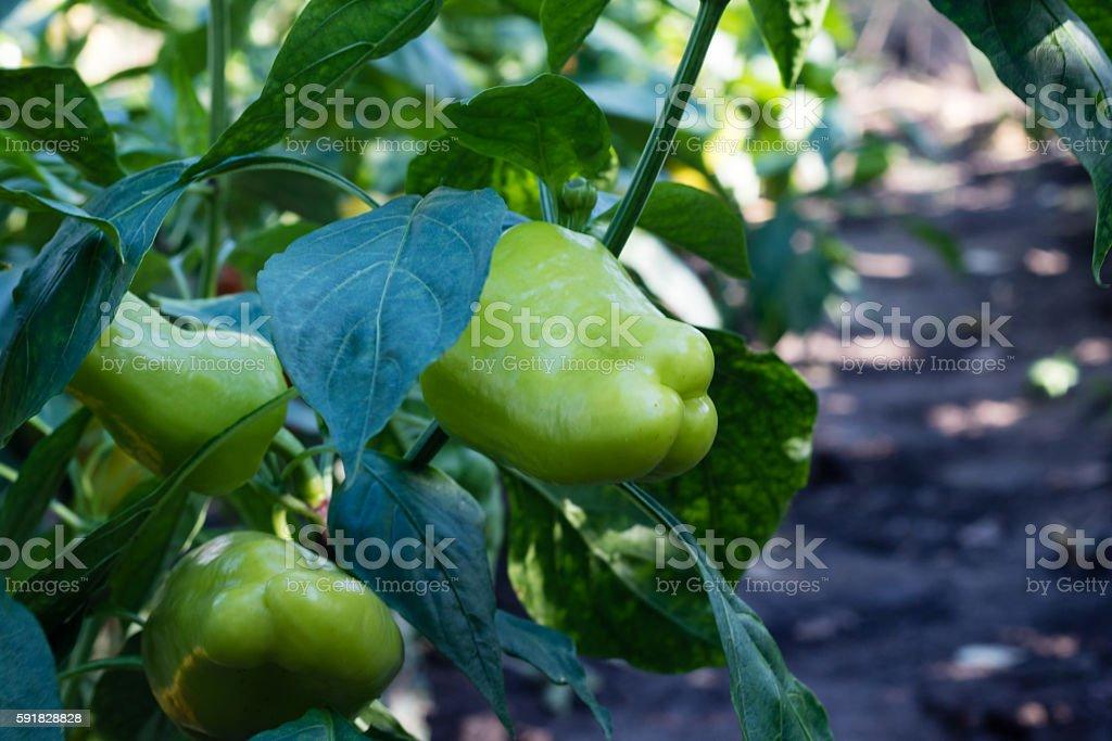 green peppers growing in garden stock photo