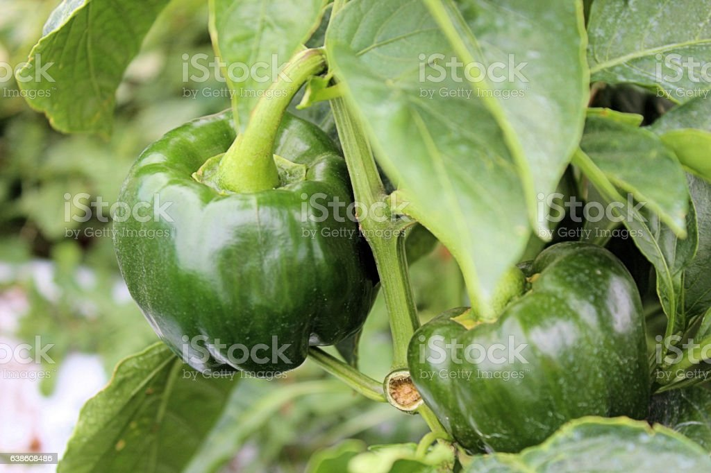 Green Peppers on the vine stock photo
