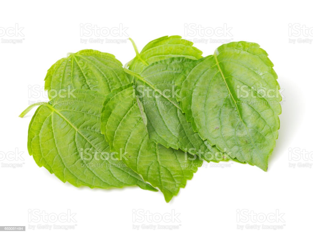 Green Perilla leaves, also known as Green Shiso, Oba leaf or Beefsteak plant. Isolated on white background stock photo