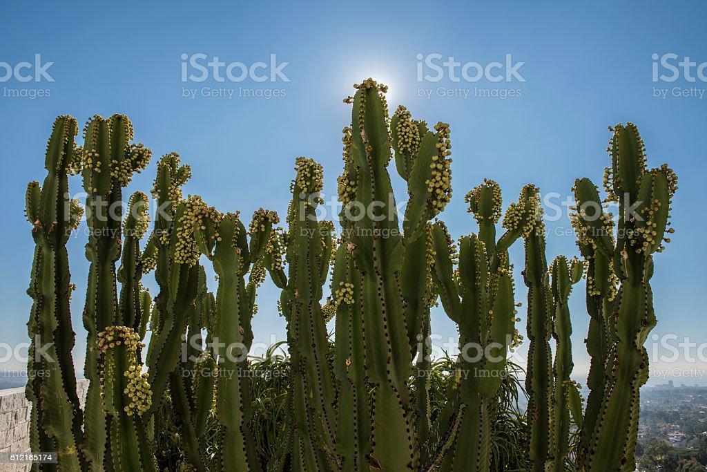 Green Peruvian Apple Cactus stock photo