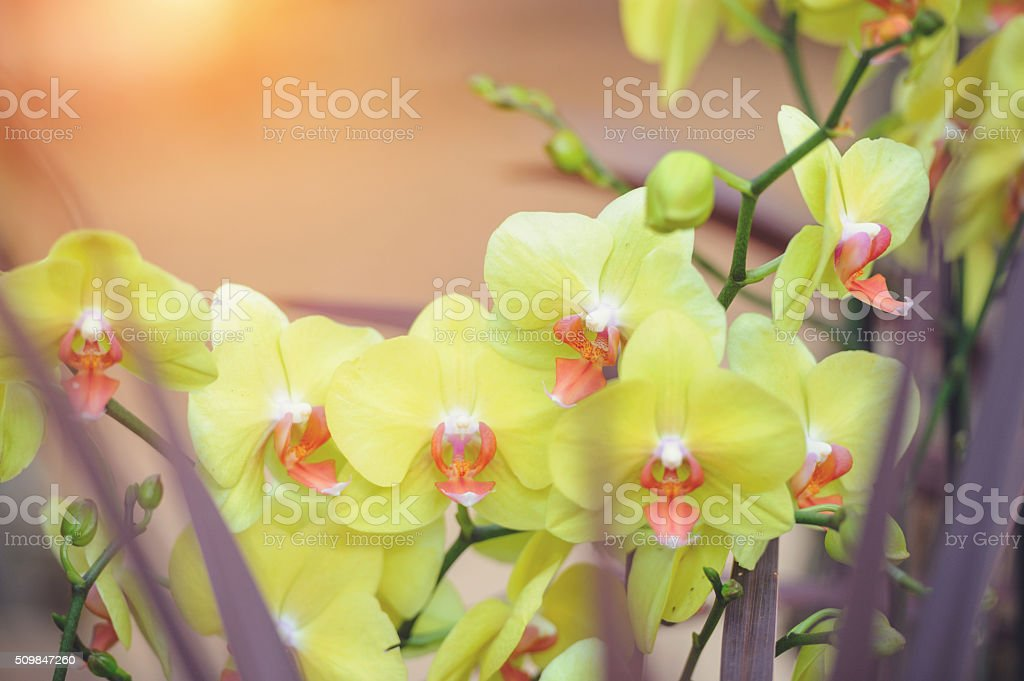 Green Phalaenopsis orchid stock photo