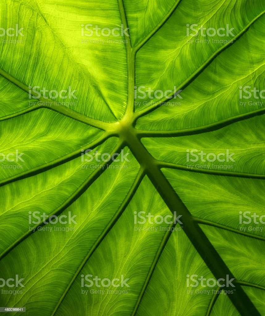 green Philodendron leaf royalty-free stock photo
