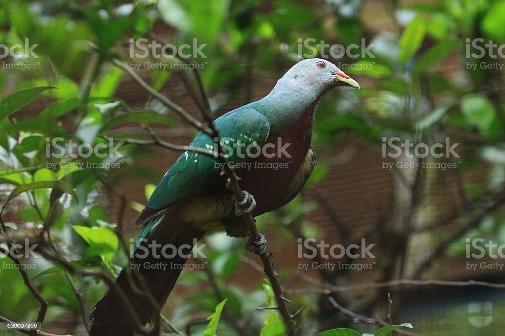 Green pigeon stock photo