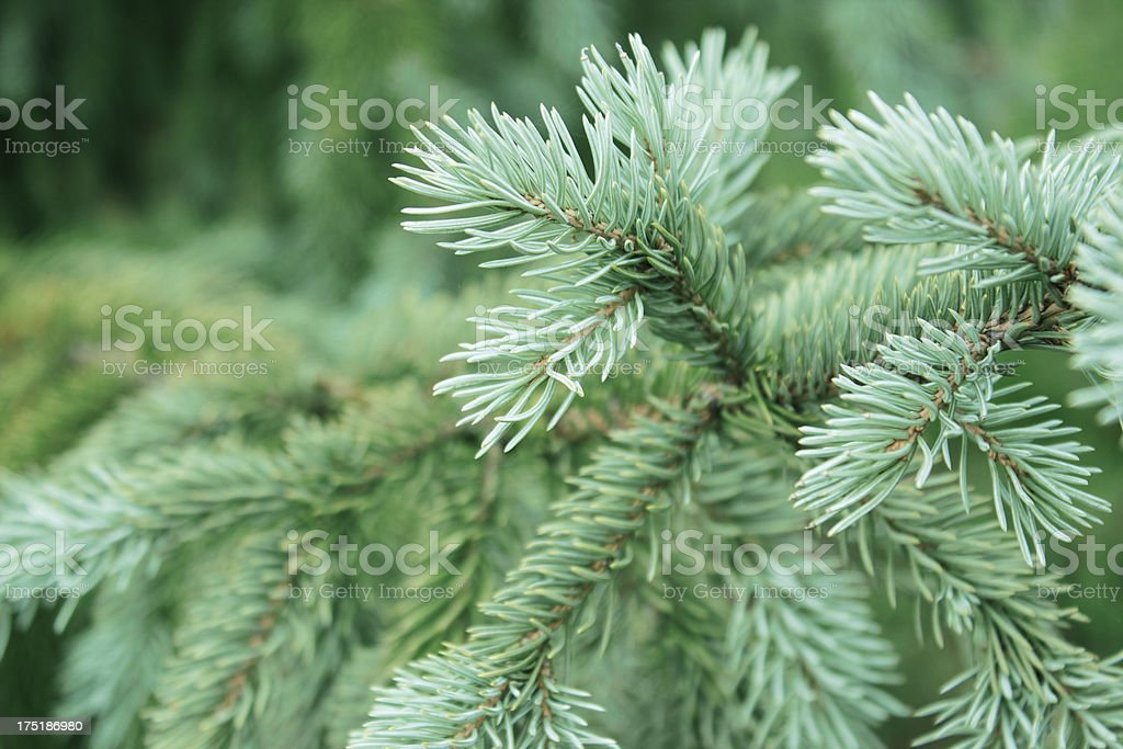 Green pine background royalty-free stock photo