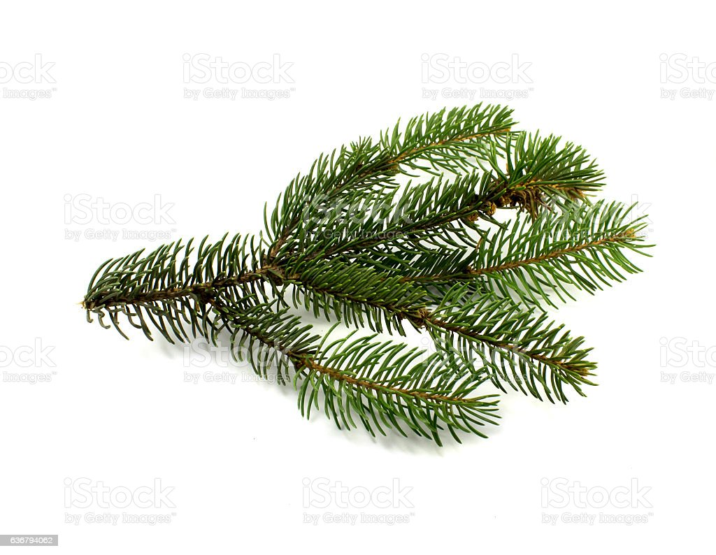 Green pine  branch, isolated stock photo